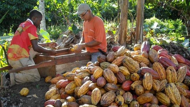cocoa plantation in Brazil