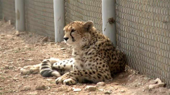 Asiatic cheetah cub recovered from smugglers